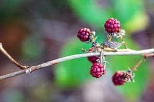 Die letzten Früchte