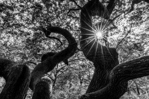 Kratteiche, knorrige Äste im Gegenlicht, Sonnenstern