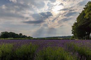 Lavendelfeld im Abendlicht, rechts Bäume