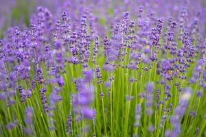 Nahaufnahme mehrerer Lavendelblüten
