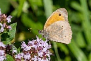 Schmetterling, Großes Ochsenauge, auf einer Blüte sitzend