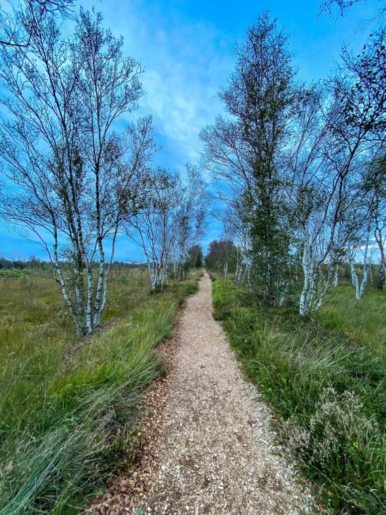 Langer schmaler Weg zwischen einigen Birken in einem Moor.
