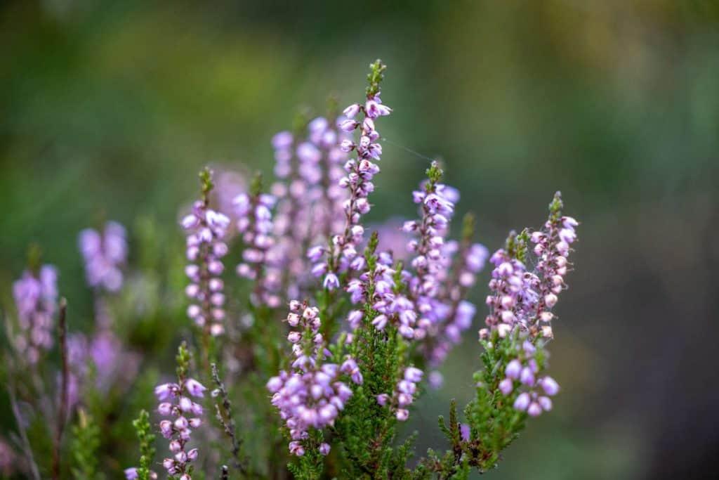 Blüten der Besenheide
