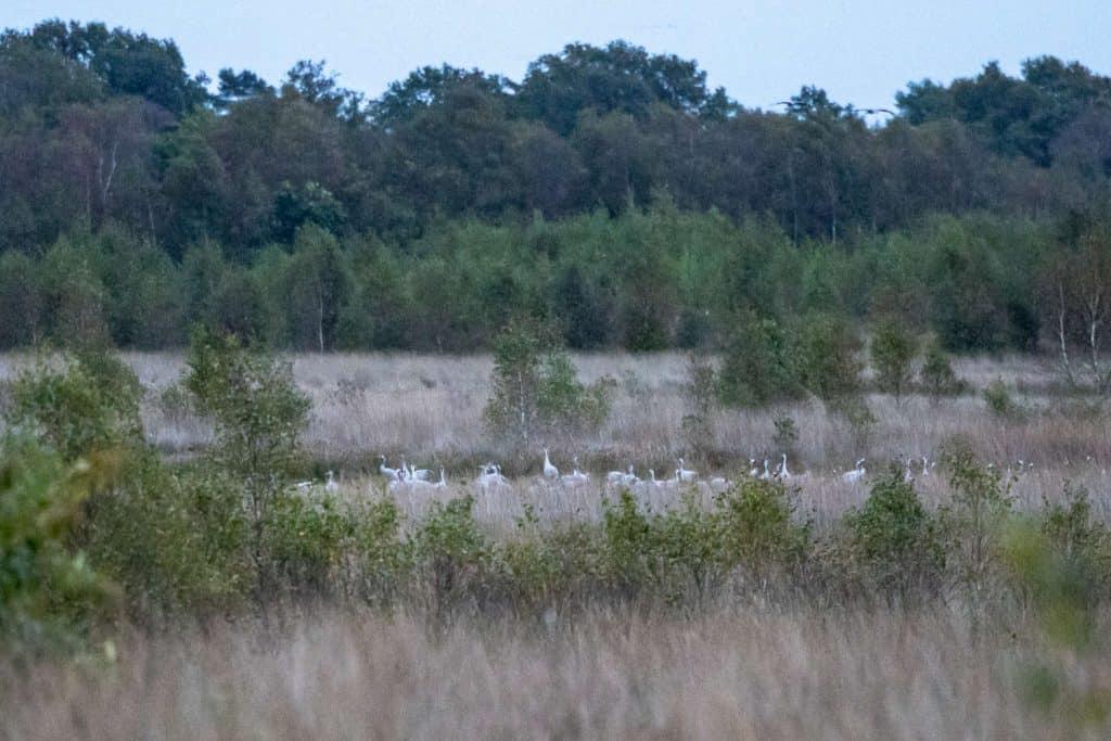Wiese mit einigen Bäumen. Längs in der Bildmitte mit etwas Mühe Kraniche zu erkennen. Hintergrund Bäume