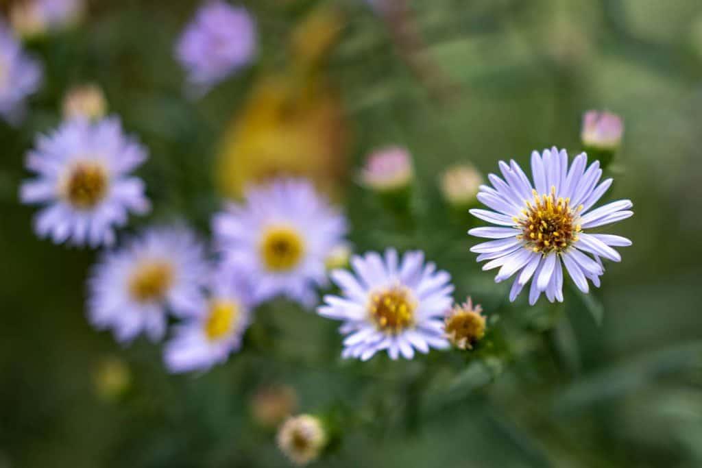 Blüten der Herbstaster, die rechte vordere ist scharf, wobei sich die hinteren Blüten in der Unschärfe des Bokeh verlieren.